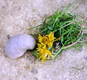 Dandelion and Fossil